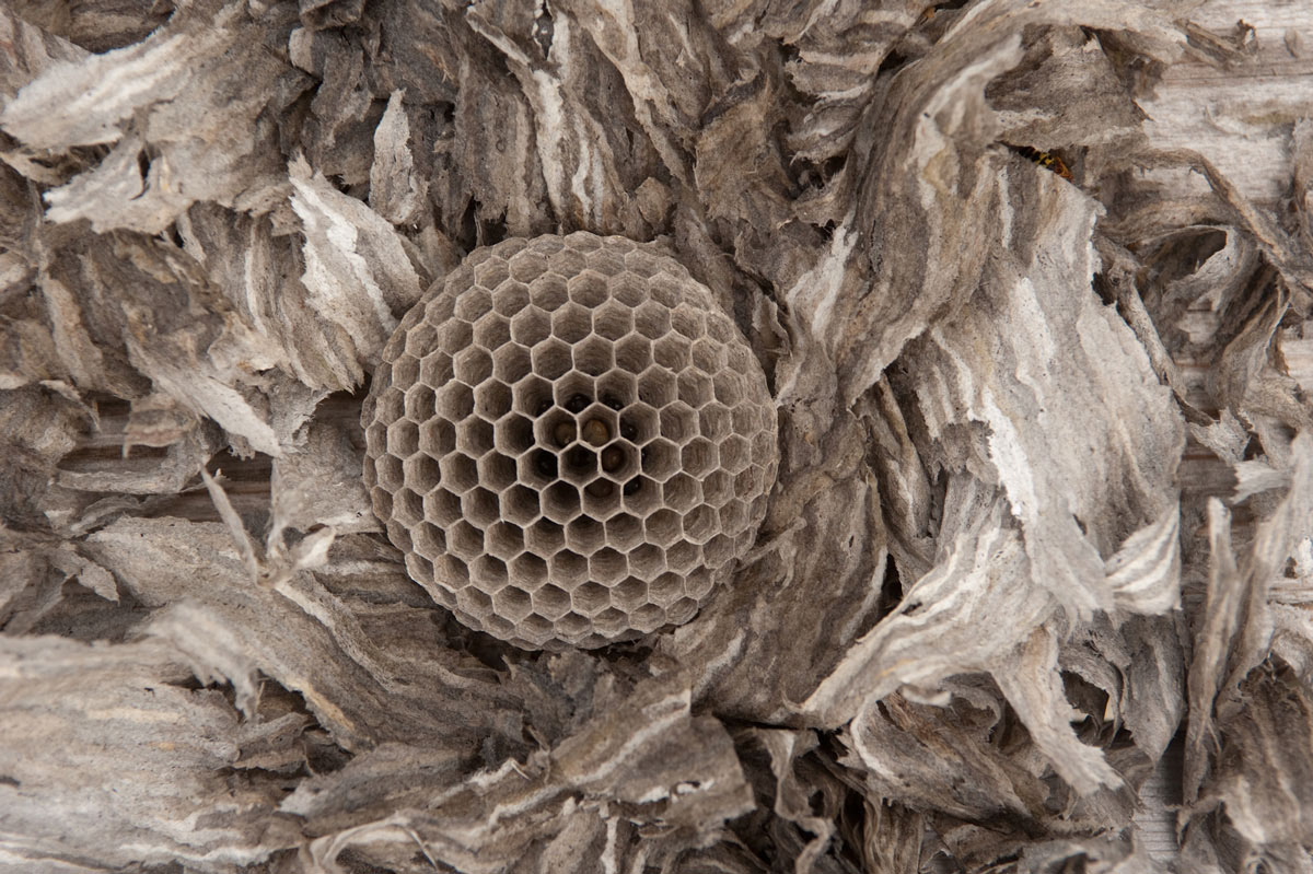 An abandoned wasp's nest with it's wrappings.