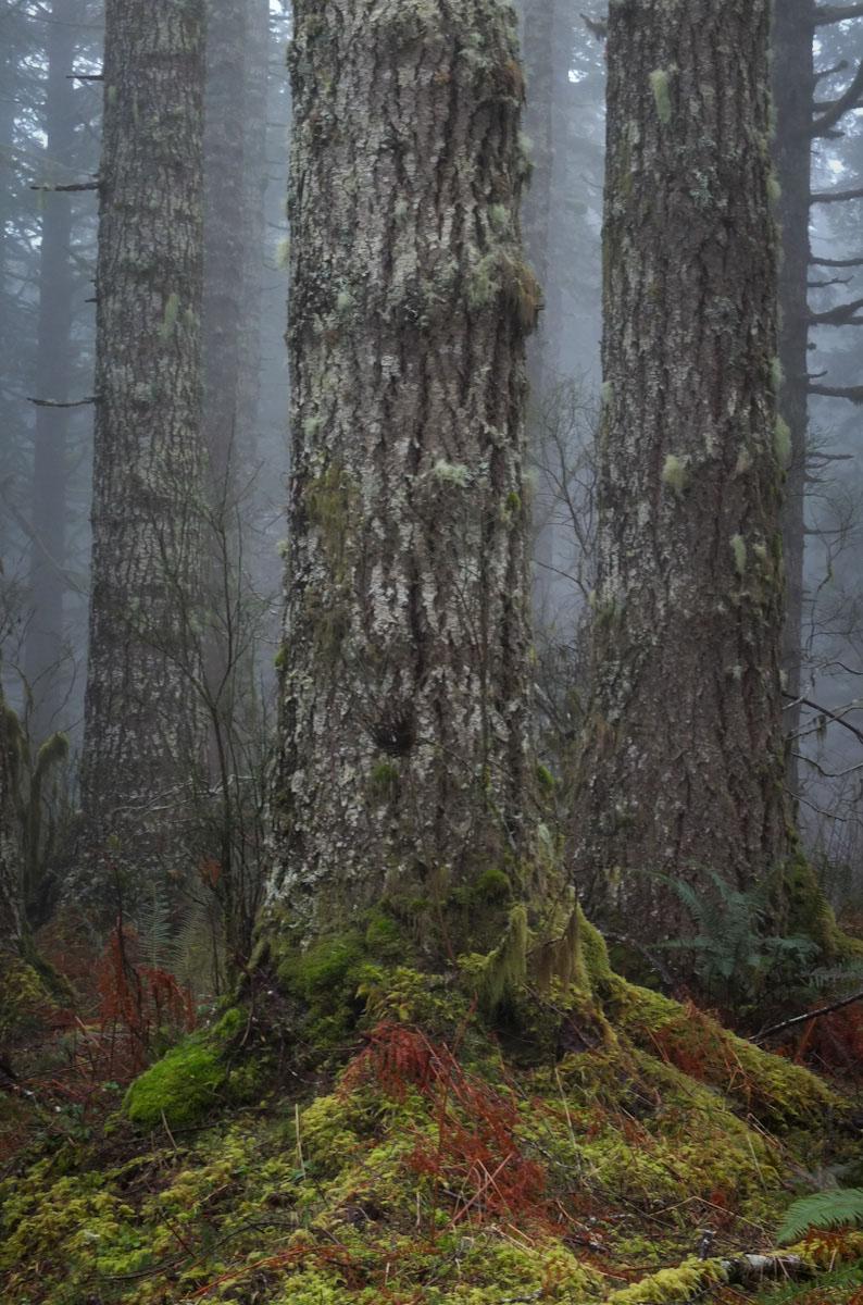 Morning's mist envelops Oregon hardwood trees.