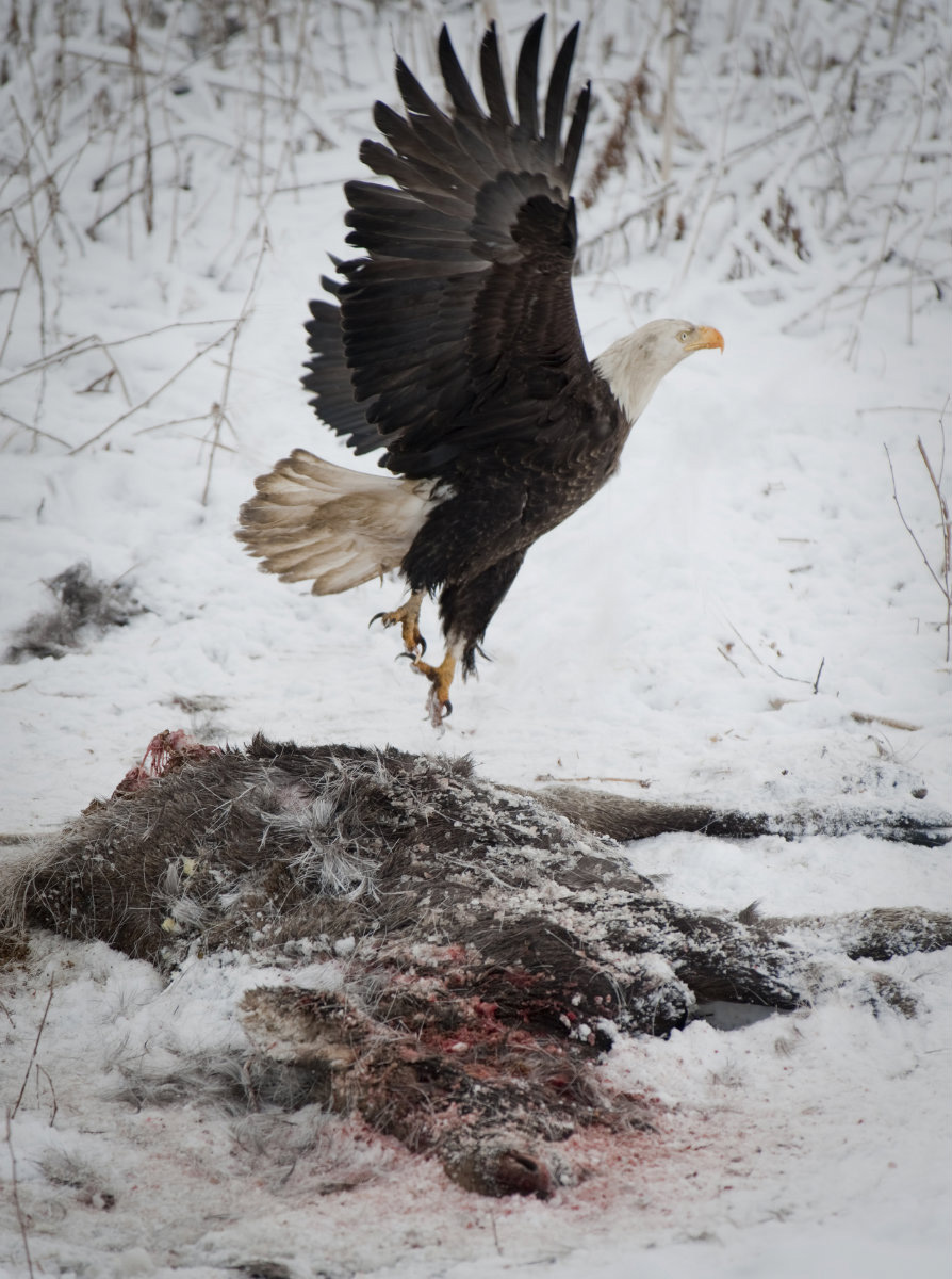 A scavenging eagle lifts off from a moose calf near Homer.
