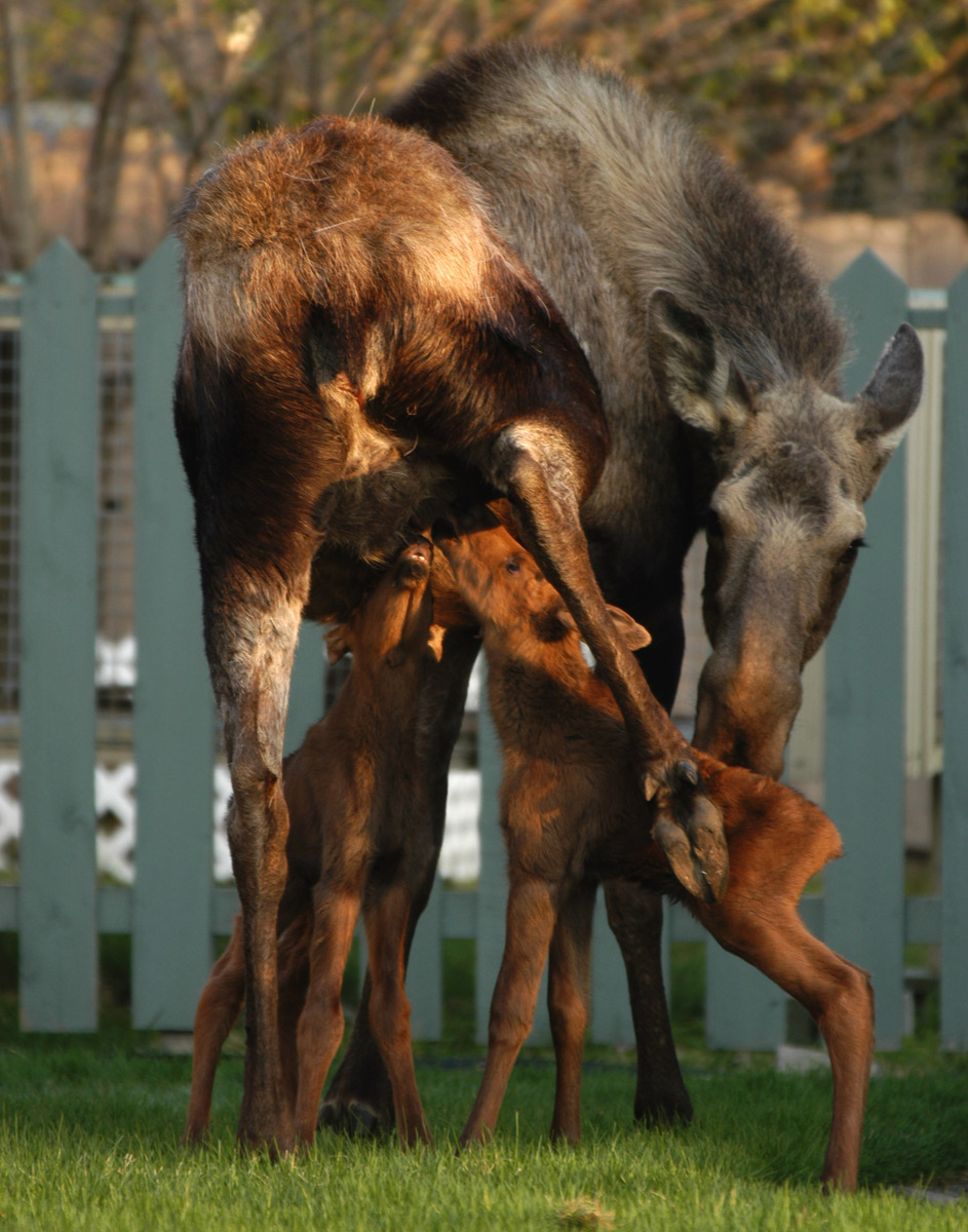 Meal time for most of a moose family.
