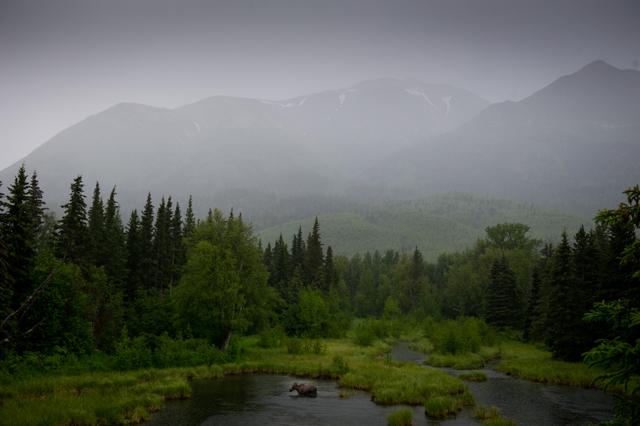 Moose in a Coopers Landing rainstorm.