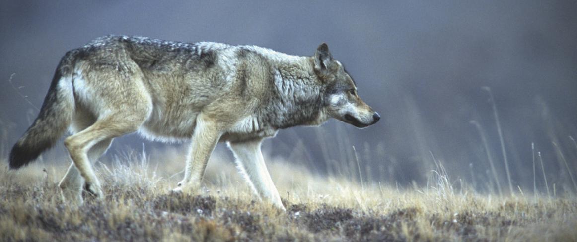 Denali Wolf.