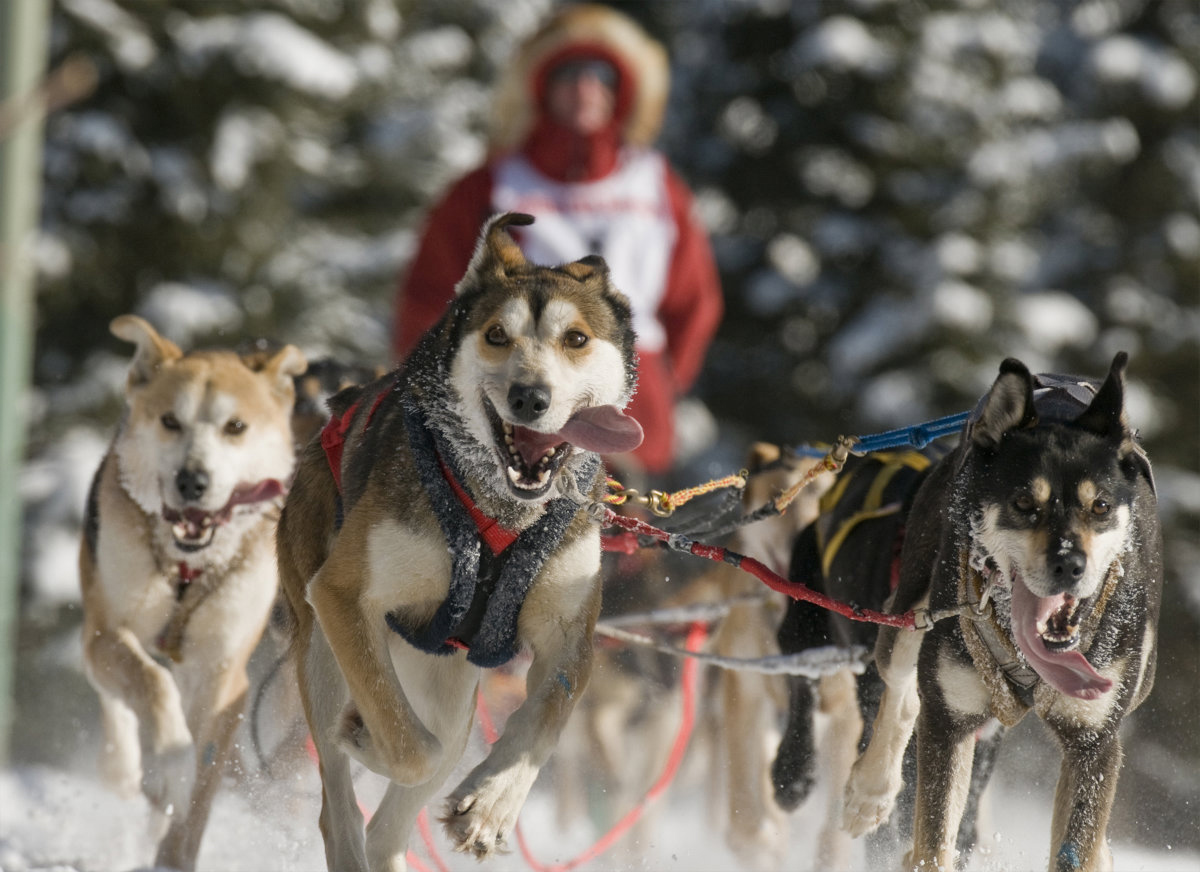 A sprint team heads home in the annual Fur Rondy World Championships.