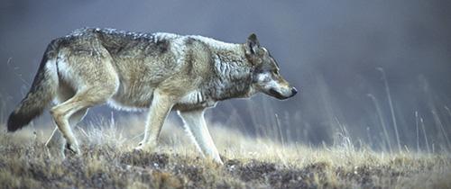 Alaska Grey Wolf in Denali Photograph