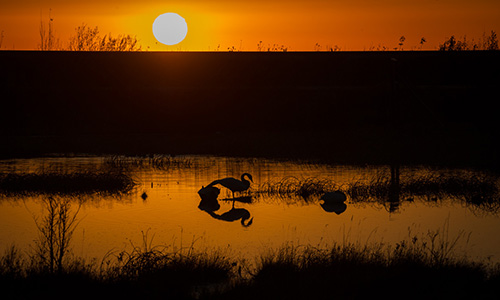 Alaska Wildlife Photography Swan at sunset