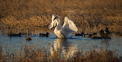 Alaska Wildlife Photography Swan in marsh