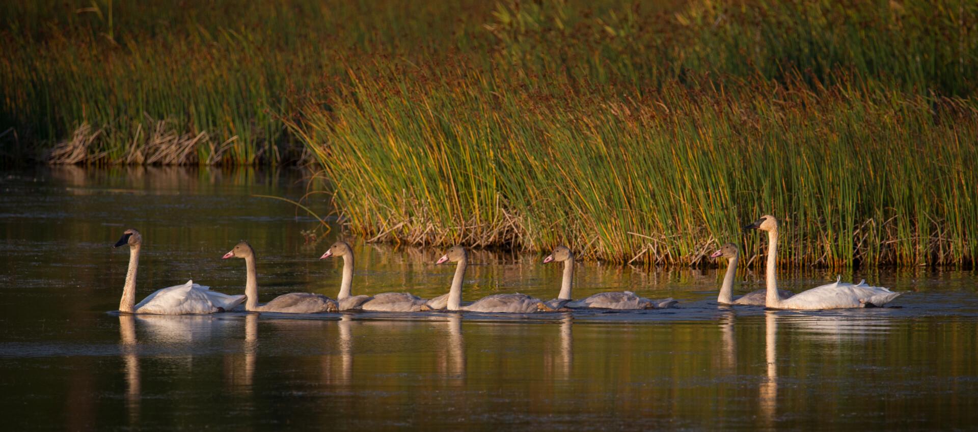 #Trumpeter Swan family @ Potter Marsh