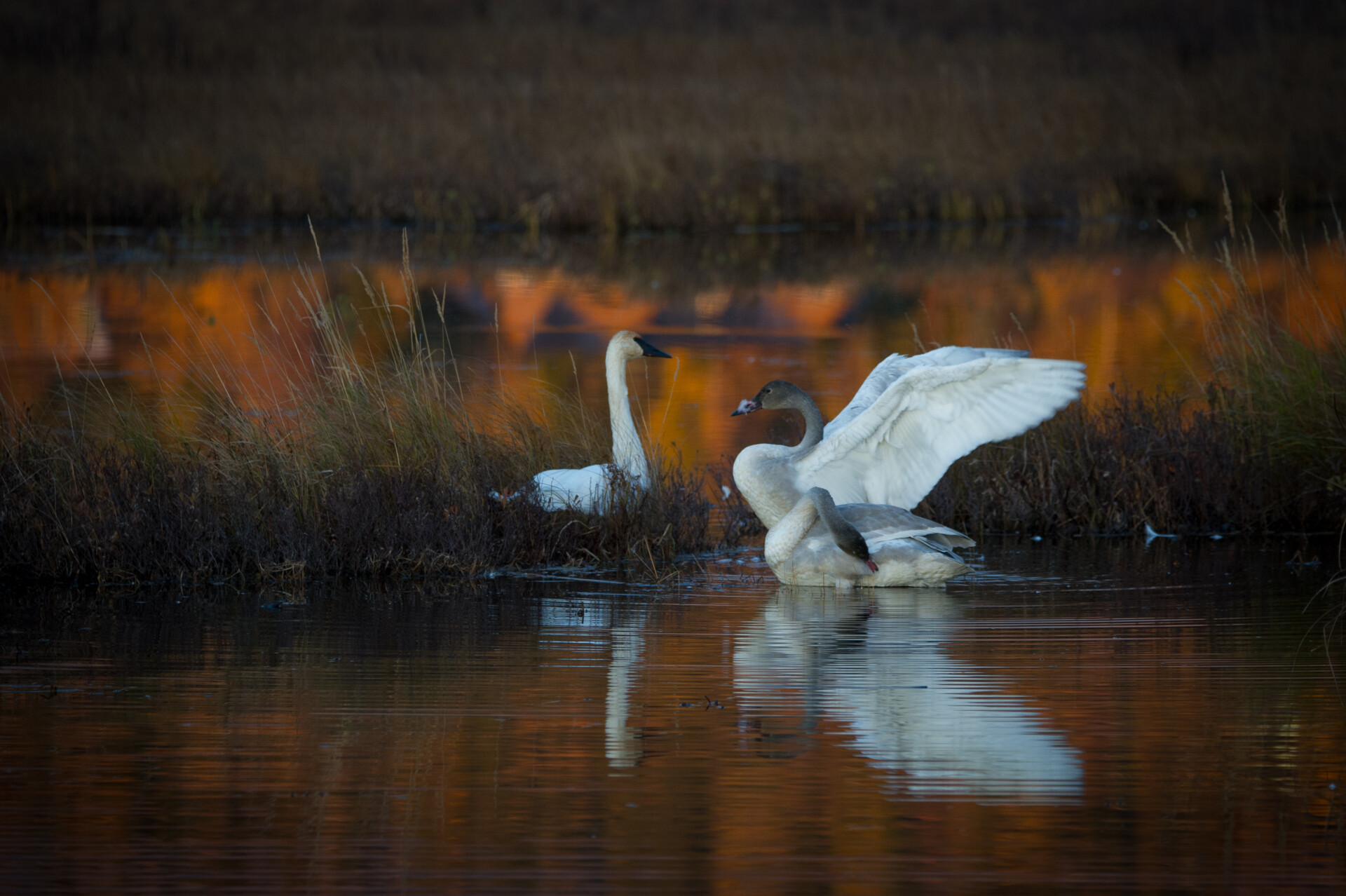 Sunset falls on the Trumpeter Swan family at Potter Marsh.